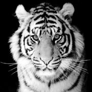 Black And White Tiger Card